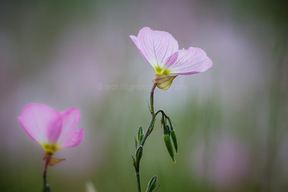 Pink Evening Primrose, Great Trinity Forest, Dallas, Texas, USA