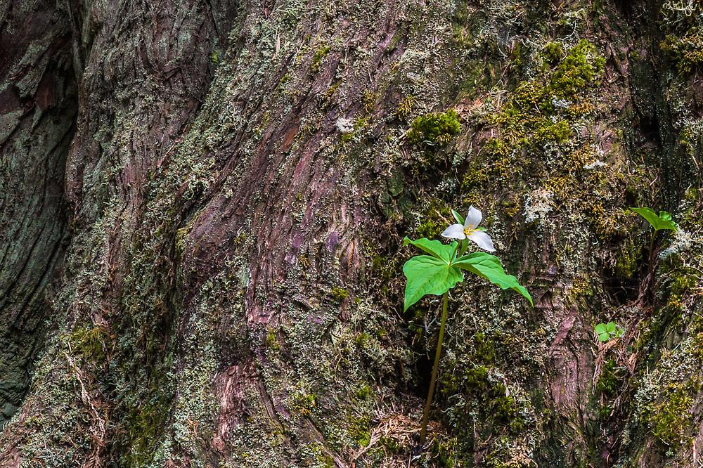 Large-flowered trillium (Trillium ovatum) and old growth western red cedar (Thuja plicata), Olympic National Park, Washington., USA