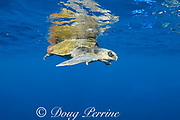 male olive ridley sea turtle, Lepidochelys olivacea, accompanied by small fish, in open ocean, offshore from southern Costa Rica, Central America ( Eastern Pacific Ocean )