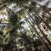 Men and women climb the tall palm trees dell'açai to retrieve the berries. Once upon a time trees were cut down to retrieve the inner part that was sold as Palmito.