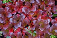 Mountain bearberry (arctostaphylos alpinus), Sarek National Park, Laponia World Heritage Site, Sweden