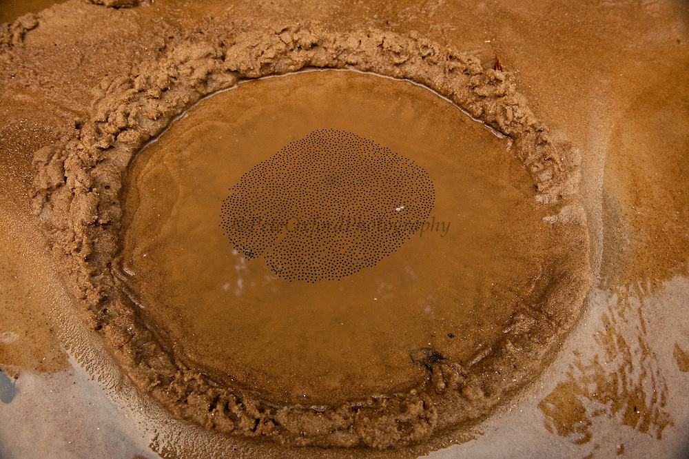 Gladiator Tree Frog Mud Nest (Hypsiboas (Hyla) boans)<br /> Rainforest<br /> Rewa River<br /> Iwokrama Reserve<br /> GUYANA. South America<br /> RANGE: Bolivia, Brazil, Colombia, Ecuador, French Guiana, Guyana, Panama, Peru, Suriname, Trinidad and Tobago, and Venezuela.