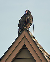 Turkey Vulture (Cathartes aura). Image taken with a Nikon N1V2 camera, FT1 adapter, and 70-200 mm f/2.8 VR lens.