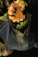Endemic to Philippines, the greater musky fruit bat (Ptenochirus jagori) is feeding on figs.  .Sierra Madre National Park, Luzon, Phillipines.  Sep 01.