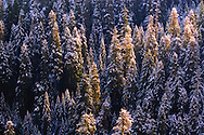 Mountain side covered in fir trees dusted with snow on Mount Rainier in Washington