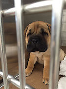 """Critically Ill """"Puppy Mill"""" Dog on the Mend after Surgery<br />  <br /> MSPCA-Angell Surgeons and Adoption Center Staff Team up to Give """"Nelson"""" a Second Chance<br />  <br /> BOSTON, Dec. 11, 2015 – An adorable nine-week-old puppy who was bought online and shipped from Missouri to Massachusetts by truck arrived in the state so ill he required emergency veterinary intervention at the MSPCA-Angell, the organization announced today.  Now the pup—named """"Nelson""""—is on the mend and will be placed for adoption after he recovers.<br />  <br /> The Shar Pei-Pug was brought by his former owner to the MSPCA's Angell Animal Medical Center on Monday, Dec. 7 suffering from lethargy, vomiting and diarrhea.  Nelson had been in Massachusetts for only a week, having endured the 20-hour trip from Missouri in a small cage to reach the state.<br />  <br /> Emergency Surgery<br /> As it turned out Nelson's intestines were entangled and Angell surgeons had to remove a large portion, re-positon and re-insert them into his tiny abdomen. <br />  <br /> Alyssa Krieger, manager of the MSPCA's animal care and adoption center, settled the puppy into the shelter after the owner surrendered him.  """"Thankfully Nelson arrived in our care just in time as he would have died without emergency surgery, which would have been doubly tragic given everything he'd already endured.<br />  <br /> Nelson will be placed in foster care for two weeks, to continue recovering from surgery before he can be placed into a new home.<br />  <br /> Puppy Buyers Beware <br /> Nelson's plight focuses a spotlight on the dangers of """"online only"""" pet sales, in which buyers are not able to visit the breeder to inspect conditions or meet dogs before purchasing.  """"This was a classic puppy mill situation and it's not surprising to us that Nelson was so sick—he was likely critically ill before he was even transported to Massachusetts,"""" said Krieger. <br />  <br /> """"We encourage everyone to please adopt vs. buying a new pet—but at th"""