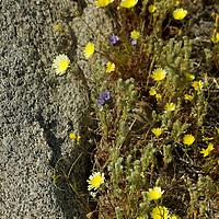 USA, California, San Diego County. Dandelions of Anza-Borrego Desert State Park.