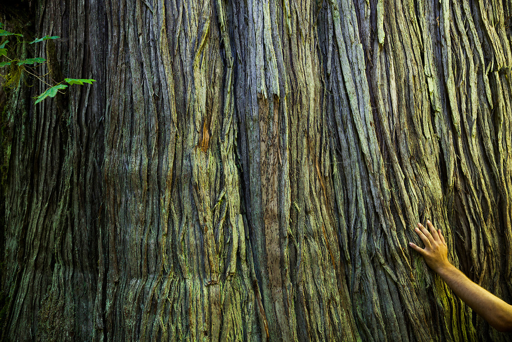 Ethan Welty places his hand on the trunk of a giant old-growth western redcedar (Thuja plicata) along the Baker River Trail in Mount Baker National Forest, Washington.