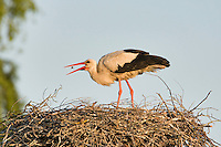 White stork (Ciconia ciconia) adult in breeding plumage. Lithuania, May 2009. Mission: Lithuania