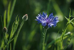 THEMENBILD - eine blaue Kornblume (Cyanus segetum Hill, Syn.: Centaurea cyanus L.), auch Zyane genannt, am Feldrand, aufgenommen am 06. Juni 2019 in Uderns Oesterreich // a blue cornflower (Cyanus segetum Hill, Syn.: Centaurea cyanus L.), also known as cyanus, at the edge of the field, in Uderns, Austria on 2019/06/06. EXPA Pictures © 2019, PhotoCredit: EXPA/Stefanie Oberhauser