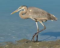 Great Blue Heron (Ardea herodias). Fort De Soto Park. Pinellas County, Florida. Image taken with a Nikon D2xs camera and 80-400 mm VR lens.