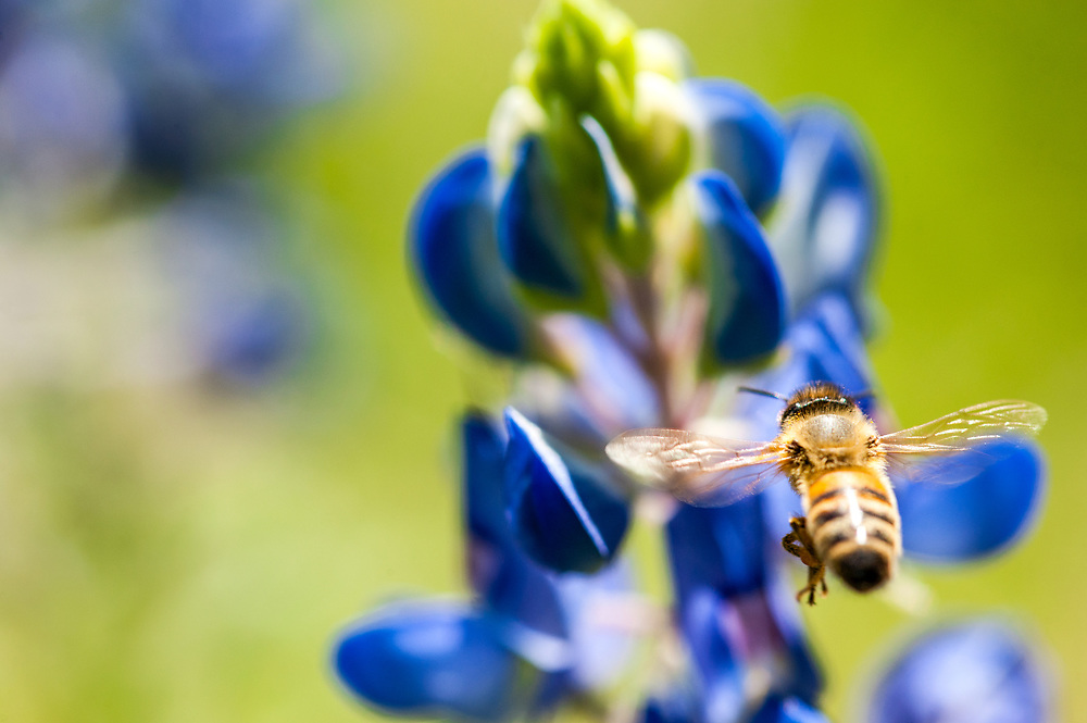Pollinator approaching a spring bluebonnet, the Texas state flower.