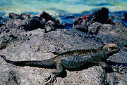 Marine Iguana on rocks,  Galapagos Islands, Ecuador