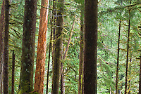 Red bark tree seen through forest in Ancient Groves, Olympic National Park, Washington.