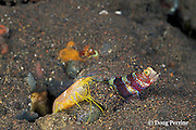 blind partner shrimp, Alpheus ochrostriatus, dumps load of sand from burrow while keeping antenna on watchdog goby, Amblyeleotris wheeleri, to monitor its movements, shrimp and goby have a symbiotic relationship,  Tulamben, Bali, Indonesia