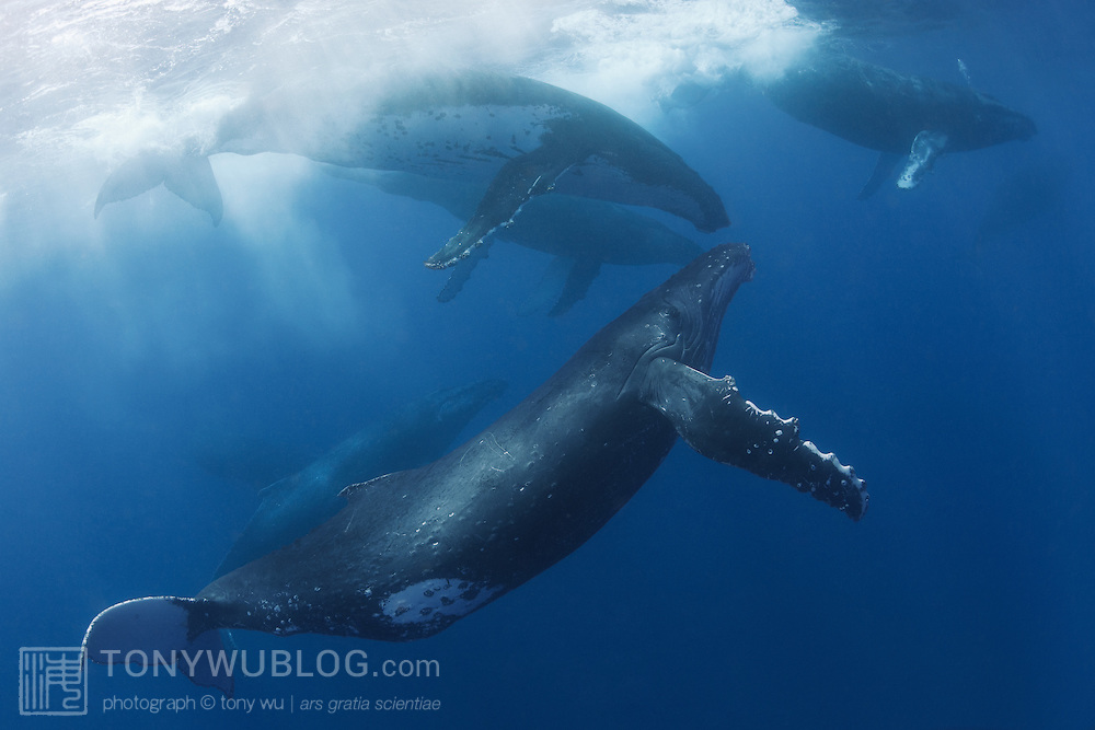 Energetic heat run comprising eight humpback whales (Megaptera novaeangliae). The whales spent a considerable amount of time at the surface, splashing and creating a commotion.