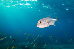 Horse-eye Jack, Caranx latus, and schooling Yellowtail Snappers, Ocyurus chrysurus, over Sugar Wreck, the remains of an old sailing ship that grounded many years ago, West End, Grand Bahamas, Atlantic Ocean