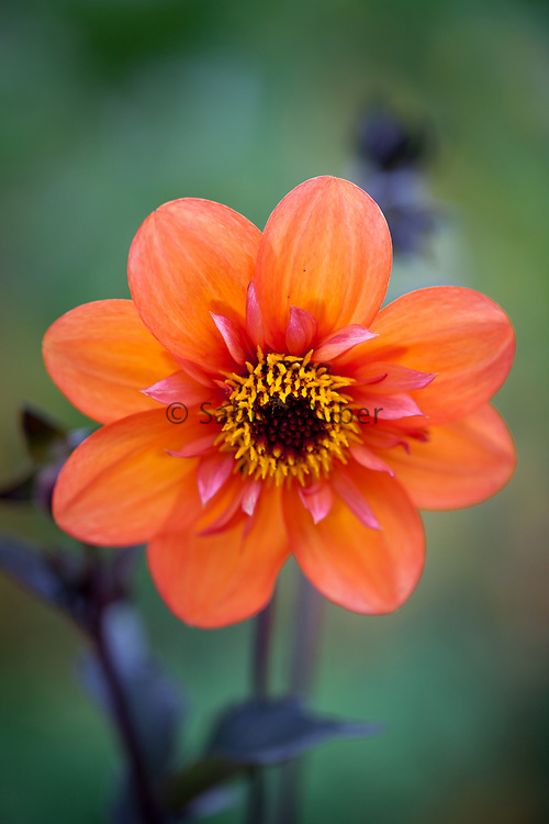 Dahlia 'Dream Seeker' - collerette dahlia