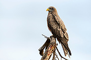 Yellow-billed kite (Milvus aegyptius parasitus) from Kruger NP, South Africa.
