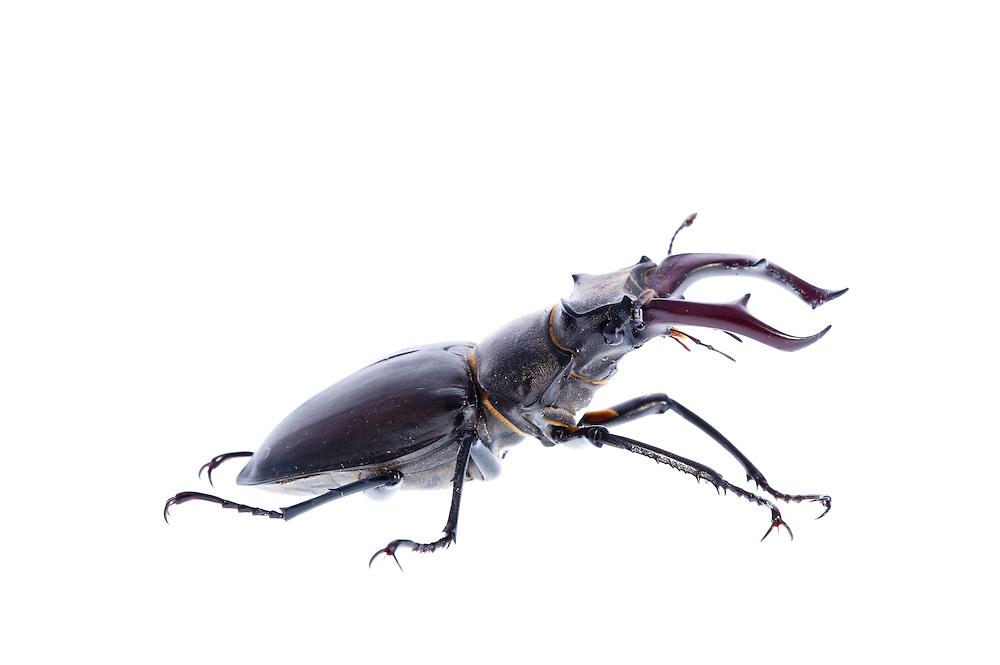 Male stag beetle in profile, Lucanus cervus, Suffolk, England, Europe.