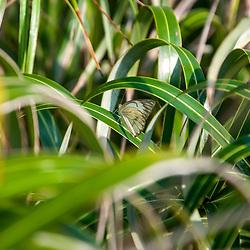 Borboleta as folhas do Guriri (Allagoptera arenaria ), encontrado no Parque Estadual Paulo Cesar Vinha (PEPCV), em Guarapari/ES.