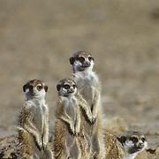 Suricate family sitting near a den during early morning in the Kalahari Desert, Africa.