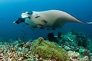 Giant Manta Ray (Manta birostris)<br /> Raja Ampat<br /> West Papua<br /> Indonesia
