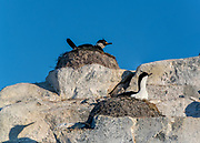 Antarctic cormorants ((Phalacrocorax bransfieldensis) nesting at Hydrurga Rocks, Antarctica.