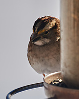 White-throated Sparrow (Zonotrichia albicollis). Image taken with a Nikon D5 camera and 600 mm f/4 VR lens.