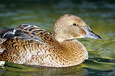 Anseriformes (Waterfowl)