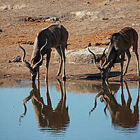 Africa, Namibia, Etosha. Greater Kudu drinking water in Etosha.