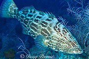 black grouper, <br /> Mycteroperca bonaci, <br /> Bahamas ( Western Atlantic Ocean )
