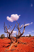 The weathered remains of a pinyon pine tree appear to hold up cumulus clouds that pass over the Grand Staircase-Escalante National Monument in Utah.