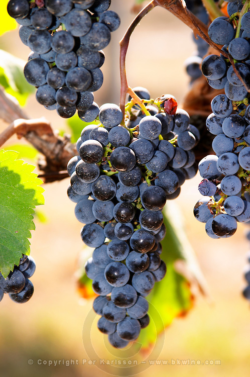 Bunches of ripe grapes. Cabernet Sauvignon. Castel del Remei, Costers del Segre, Catalonia, Spain.