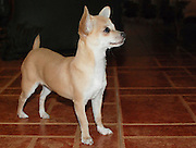 Pet chihuahua dog