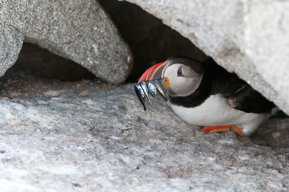 Atlantic Puffins (Tratercula artica) have a beak enabling them to hold onto several fish at once, while still hunting and catching even more fish.  The result is a puffin with lots of food, which they feed to their only child in a burrow under the rocks. On Machias Seal Island, New Brunswick. Photo by William Drumm.