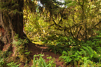 Deep into the Hoh Rain Forest, ancient trees - Sitka spruce, Douglas fir, western hemlock, bigleaf maple, red alder and western red cedar stand tall and solemn. Many of them 500 years old or more!