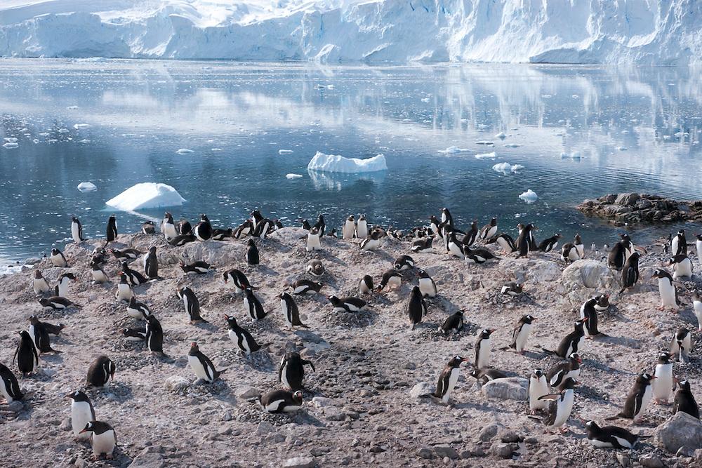 Gentoo Penguin colony in Neko Harbor, on the eastern shore of Andvord Bay. Antarctic Peninsula.
