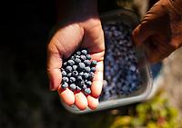 Blueberry picking Belknap Mountain, Gilford, NH.  ©2017 Karen Bobotas Photographer
