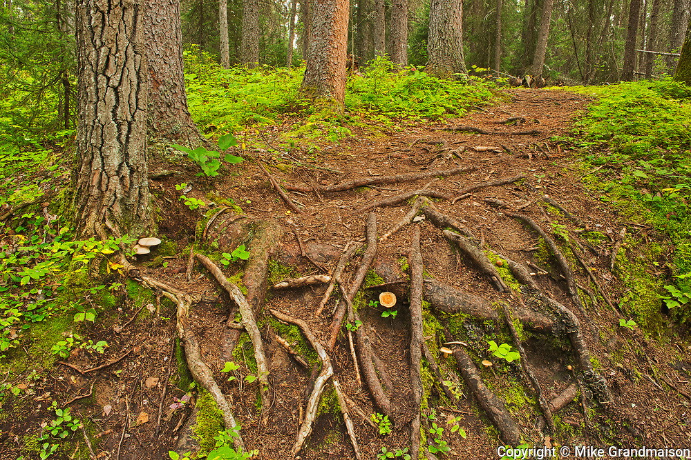 Black spruce trees and lforest fllor of tree roots, and moss in the Boreal forest <br />Pisew Falls Provincial Park<br />Manitoba<br />Canada