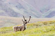 Caribou (Rangifer tarandus) foraging at Highway Pass in Denali National Park in Interior Alaska. Summer. Afternoon.