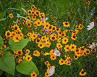 Coreopsis (tickweed) Flowers. Image taken with a Leica TL2 camera and 35 mm f/1.4 lens