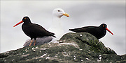 A gull shares space with two oystercatchers on Destruction Island off Washington's coast. (Benjamin Benschneider / The Seattle Times)