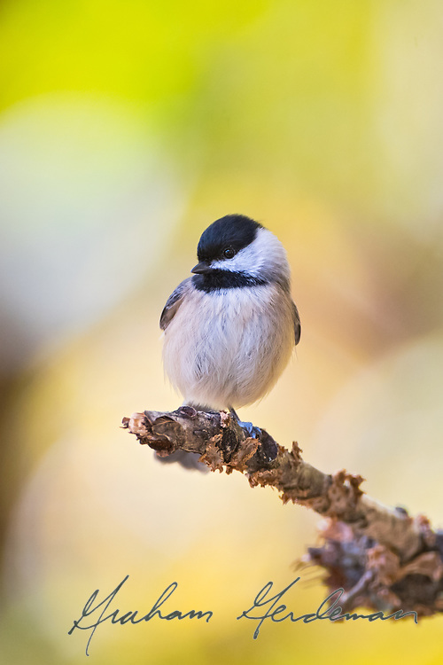 Carolina Chickadee on a natural perch
