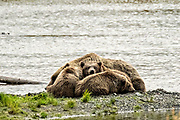 A Brown Bear family composed of a sow called #402 and her three cubs sleep on the beach at Naknek Lake near Brooks Camp in Katmai National Park and Preserve September 16, 2019 near King Salmon, Alaska. The park spans the worlds largest salmon run with nearly 62 million salmon migrating through the streams which feeds some of the largest bears in the world.