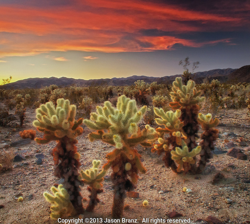 Twilight light and red clouds over the cholla cactus garden at Joshua Tree National Park, California.