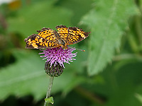 A wing-damaged Pearl Crescent (Phyciodes tharos) gets some sustenance from a thistle in Central Park, Aug. 5, 2021.