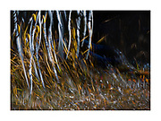 ICM and multiple exposure of young aspen trees in late afternoon, autumn light