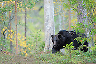 Eurasian brown bear, Ursus arctos in Kuhmo, Finland..