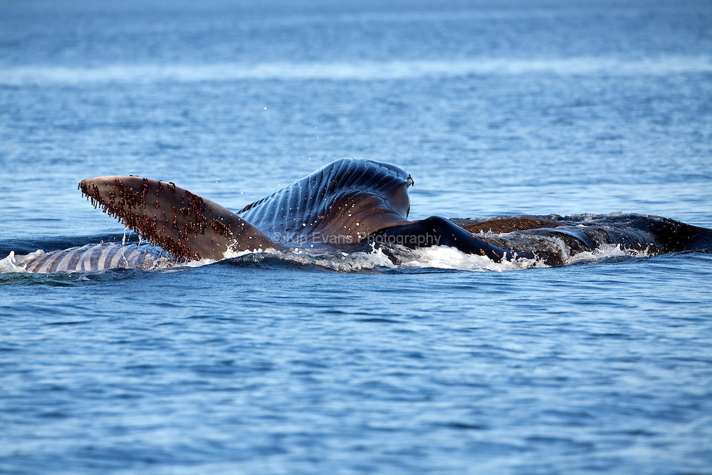 A fin whale (Balaenoptera physalus) feeds at the surface of Kino Bay, Mexico.